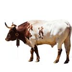 Bulle oder Stier